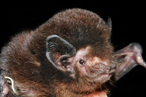 Long tailed bat CREDIT Stuart ParsonsBRIGHT