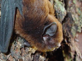 Long tailed bat March Colin ODonnell