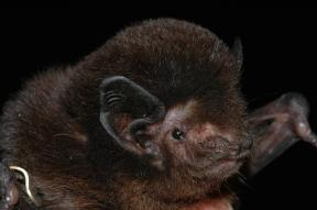 Long tailed bat CREDIT Stuart Parsons