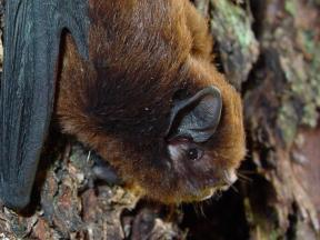 Long tailed bat Colin ODonnell3